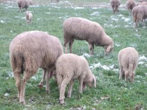 pecore-casirate-0052