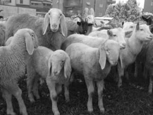 pecore-casirate-019