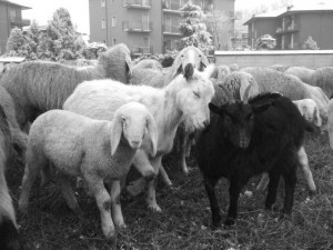 pecore-casirate-020